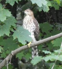 A Cooper's hawk in Sudbury, photographed by Sharon Tentarelli.