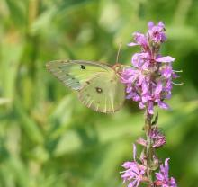 A clouded sulphur butterfly in Southborough, photographed by Steve Forman.