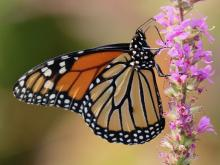 A monarch butterfly in Southborough, photographed by Steve Forman.