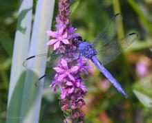 A slaty skimmer dragonfly at Watson Park in Northborough, photographed by Sandy Howard.