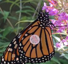 A monarch butterfly in Westborough, photographed by Nan Burke.