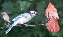 A blue jay, northern cardinal, and house sparrow in Framingham, photographed by Steve Forman.