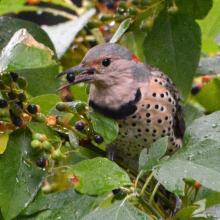 A northern flicker in Lincoln, photographed by Ron McAdow.