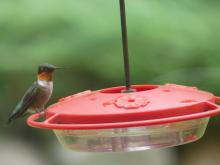 A ruby-throated hummingbird at a feeder in Lincoln, photographed by Harold McAleer.