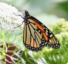 A monarch butterfly at Tower Hill Botanical Garden in Boylston, photographed by Steve Forman.