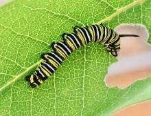 A monarch caterpillar at Tower Hill Botanical Garden in Boylston, photographed by Steve Forman.