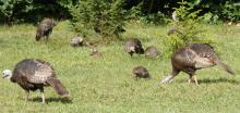 Turkeys in Sudbury, photographed by Sharon Tentarelli.
