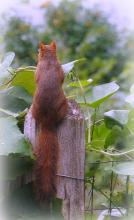 A red squirrel in Northborough, photographed by Sandy Howard.