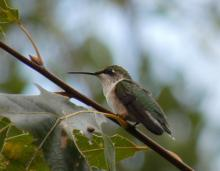 A ruby-throated hummingbird in Sudbury, photographed by Sharon Tentarelli.