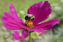 A bumble bee in Sudbury, photographed by Sharon Tentarelli.