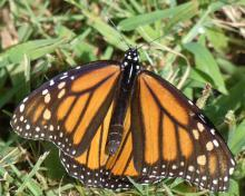 A monarch butterfly in Sudbury, photographed by Sharon Tentarelli.