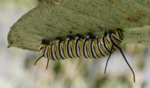 A monarch caterpillar in Sudbury, photographed by Sharon Tentarelli.