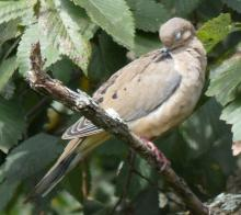 A mourning dove in Sudbury, photographed by Sharon Tentarelli.