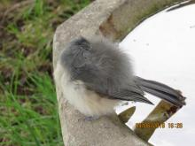 A tufted titmouse in Stow.