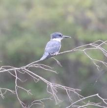 A belted kingfisher, photographed by Steve Forman.