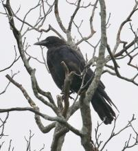 A common raven in Southborough, photographed by Steve Forman.
