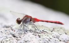 A ruby meadowhawk at Breakneck Hill Conservation Land in Southborough, photographed by Steve Forman.