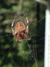 An orb weaver in Northborough, photographed by Marnie Frankian.