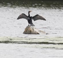 A double-crested cormorant at Hager Pond in Marlborough, photographed by Steve Forman.