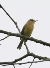 A palm warbler at Breakneck Hill Conservation Land in Southborough, photographed by Steve Forman.