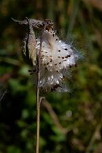 Milkweed in Concord, photographed by Jon Whitney.