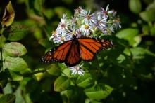 A monarch butterfly in Concord, photographed by Jon Whitney.