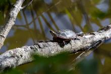 A painted turtle in Concord, photographed by Jon Whitney.