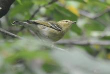 A blackpoll warbler in Natick, photographed by Greg Dysart.