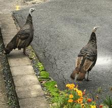 Turkeys in Framingham, photographed by Todd Boli.