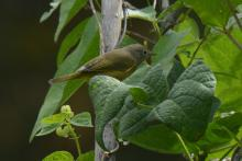 A Nashville warbler at the Wayland Community Gardens, photographed by Greg Dysart.