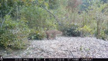 A bobcat in Boxborough, photographed with an automatically triggered wildlife camera by Steve Cumming.