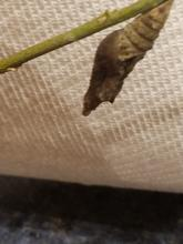 A giant swallowtail chrysalis in Northborough, photographed by Marnie Frankian.
