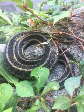 A common garter snake at SVT's Wolbach Farm in Sudbury, photographed by Michael Sanders.