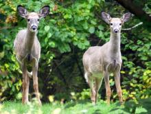 White-tailed deer in Lincoln, photographed by Harold McAleer.