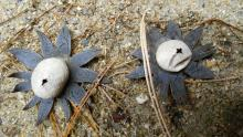 Earthstar fungus at SVT's Memorial Forest in Sudbury, photographed by Donna DiFranco.
