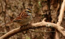 A white-throated sparrow in Sudbury, photographed by Dan Trippe.