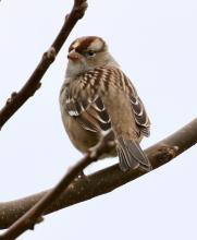 A white-crowned sparrow at Breakneck Hill Conservation Land in Southborough, photographed by Steve Forman.
