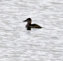Ruddy ducks on the Sudbury Reservoir in Southborough, photographed by Steve Forman.