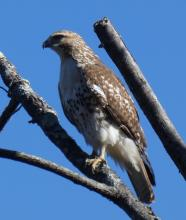 A red-tailed hawk at Mass Audubon's Broadmoor Wildlife Sanctuary in Natick, photographed by Sharon Tentarelli.