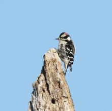 A downy woodpecker at Little Chauncy Pond in Westborough, photographed by Steve Forman.