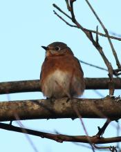 An eastern bluebird in Sudbury, photographed by Dan Trippe.