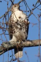 A red-tailed hawk in Sudbury, photographed by Sharon Tentarelli.