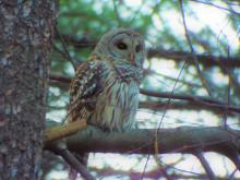 A barred owl in Harvard, photographed by Robin Right.