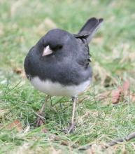 A dark-eyed junco in Framingham, photographed by Steve Forman.