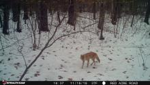A coyote in Stow, photographed with an automatically triggered wildlife camera by Tom Porcher.