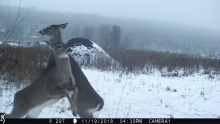 White-tailed deer in Harvard, photographed with an automatically triggered wildlife camera by Steve Cumming.
