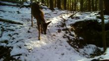 A white-tailed deer at the Smith Property in Littleton, photographed with an automatically triggered wildlife camera by Dan Stimson.