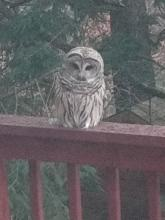 A barred owl in Framingham, photographed by Kathy Spellman.