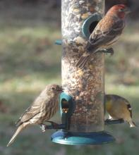 House finches (female at bottom left and male at top right) and an American goldfinch (bottom right) in Sudbury, photographed by Sharon Tentarelli.