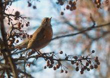 An American robin in Southborough, photographed by Sandy Howard.